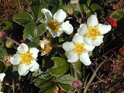 fleurs blanches de la fraise blanche du Chili