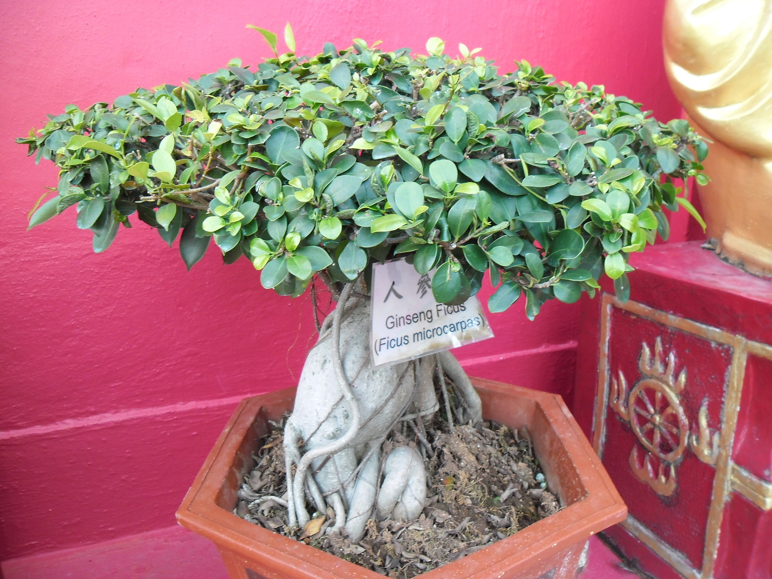 File:Ginseng Ficus Hong Kong.jpg - Wikimedia Commons