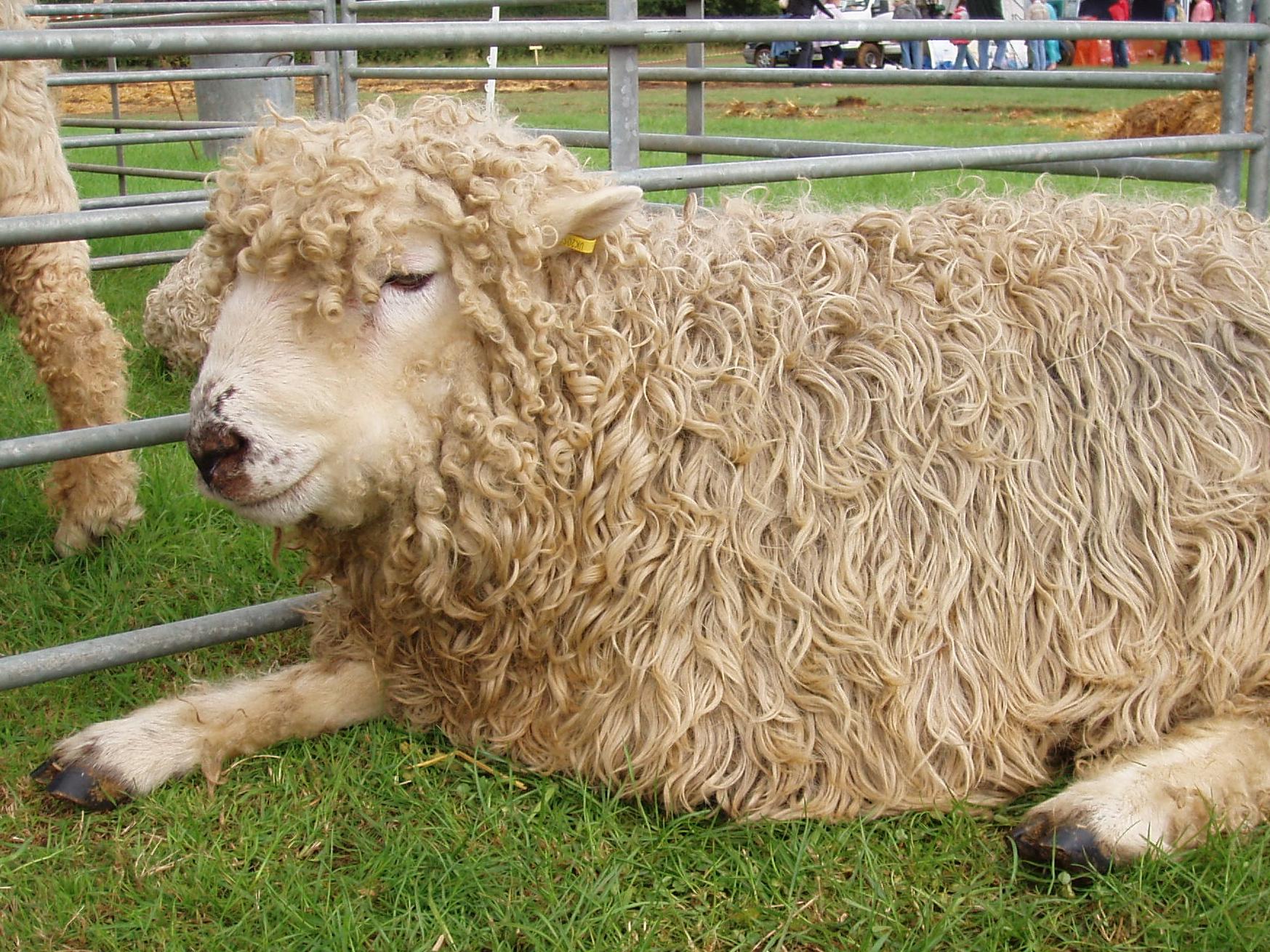 File:Grey Faced Dartmoor sheep.jpg - Wikimedia Commons