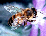 Honeybee small.png