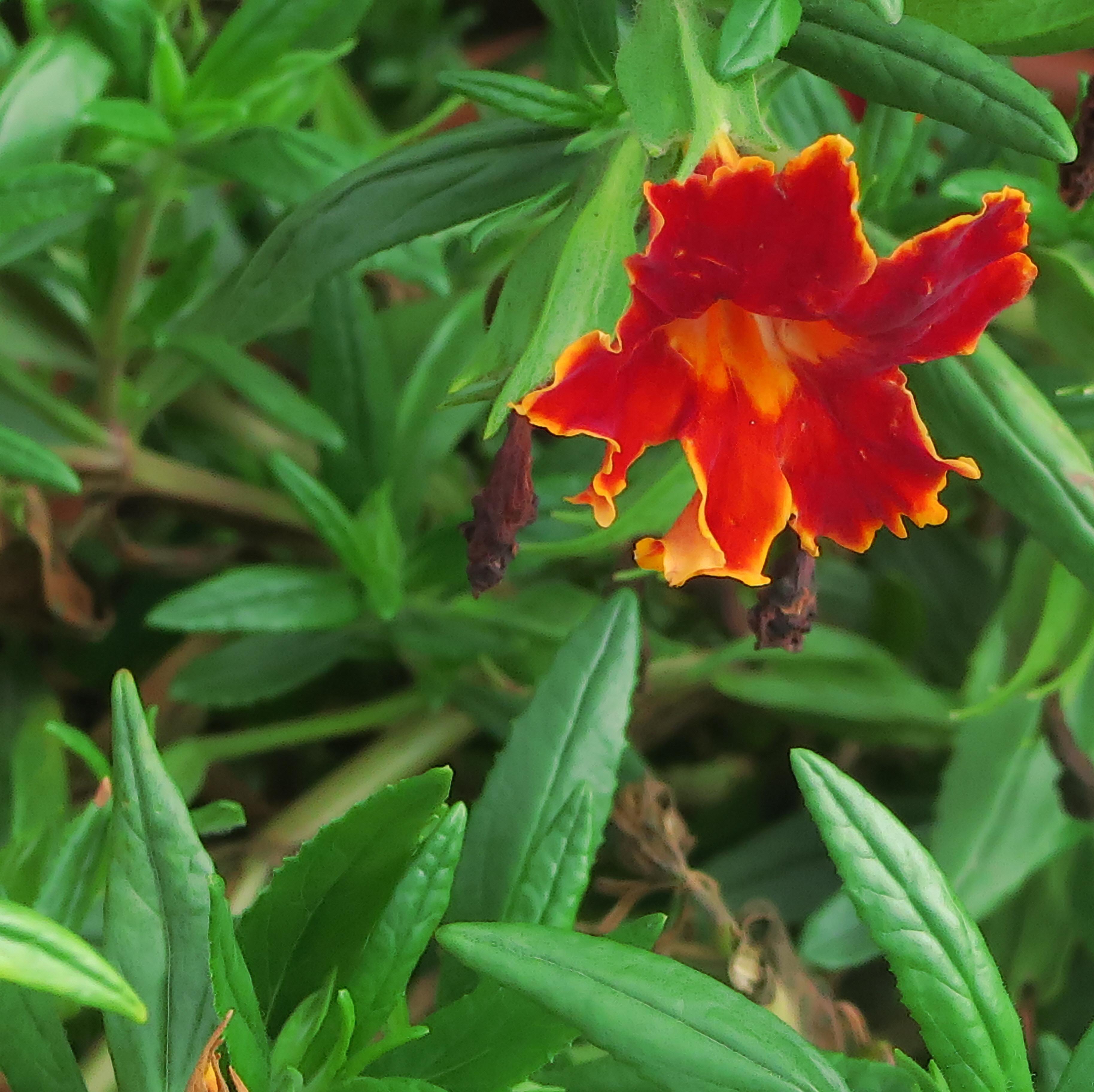 File:J20150929-0022—Mimulus \'Fiesta Marigold\' PPAF—RPBG Plant Sale ...