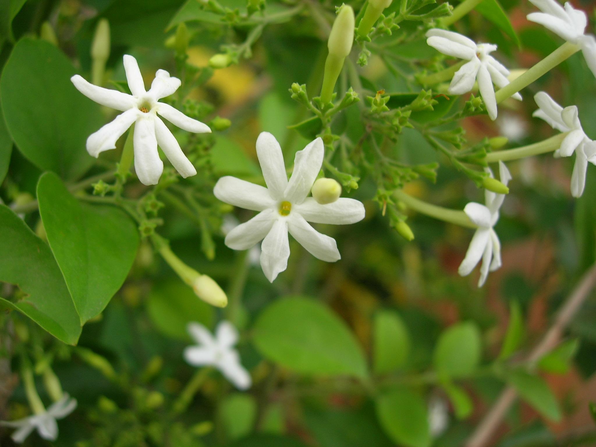 Jasmine in karnataka wikiwand izmirmasajfo
