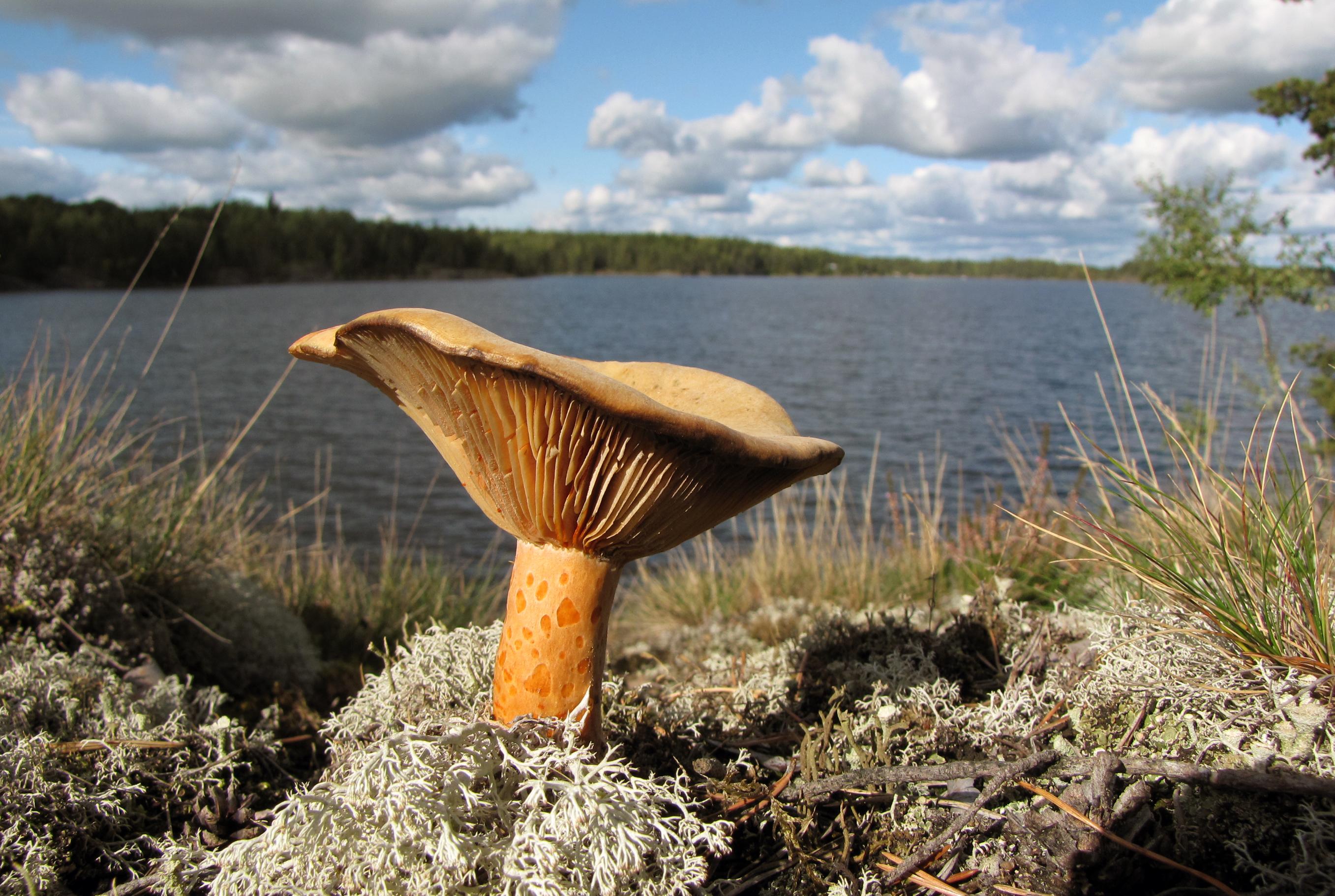 File:Lactarius-deliciosus-Finland.jpg - Wikimedia Commons