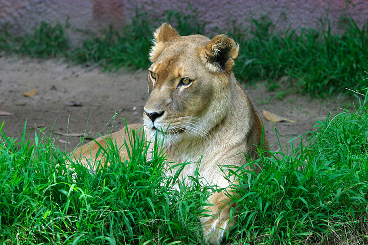 http://upload.wikimedia.org/wikipedia/commons/d/d5/Lightmatter_lioness.jpg