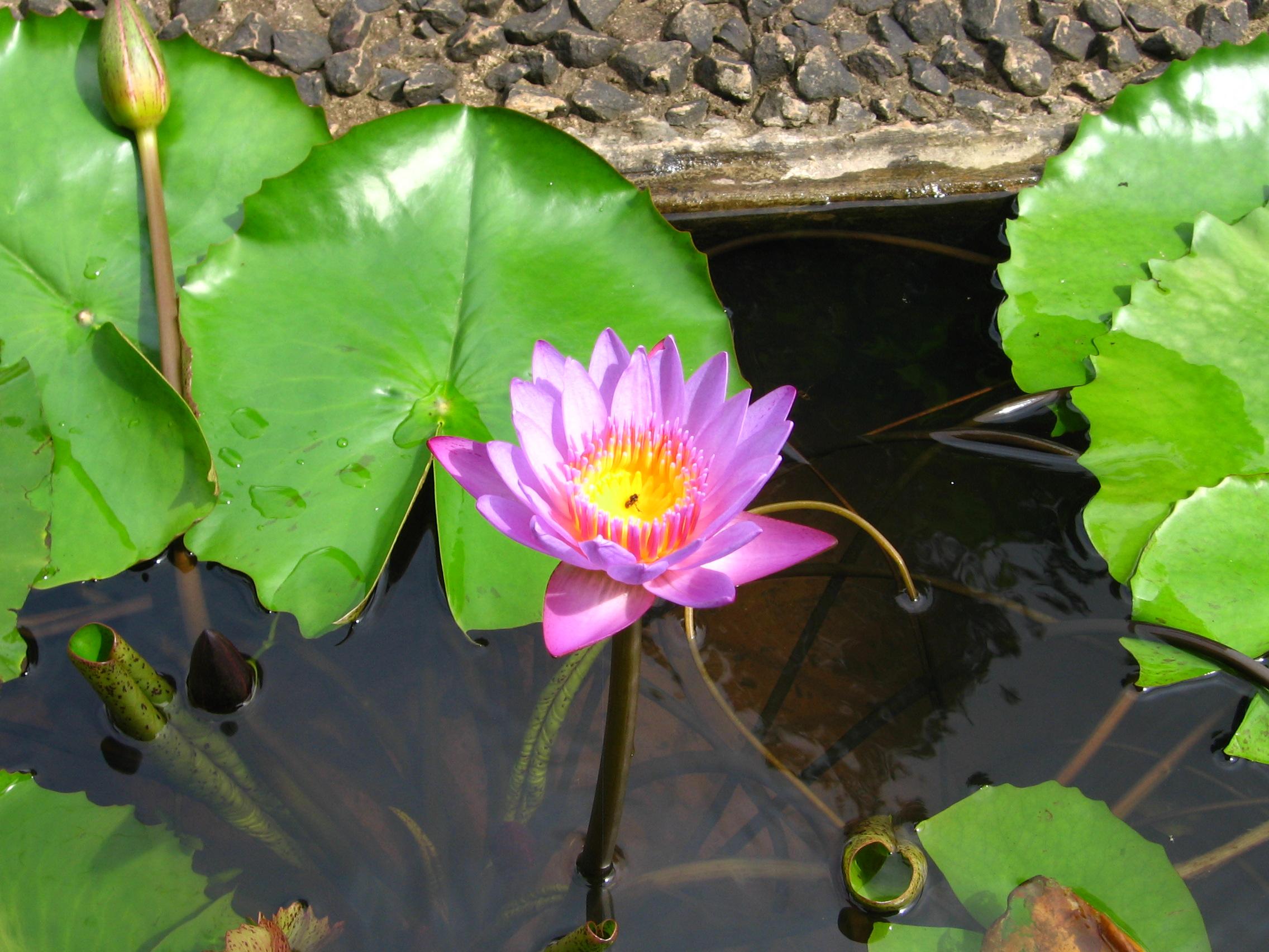 Filelotus flower in konkag wikimedia commons informationabout reusing filelotus flower in konkag izmirmasajfo Images
