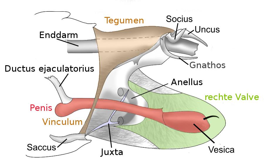 Filemale Genitalia Lepidoptera Derivateg Wikimedia Commons