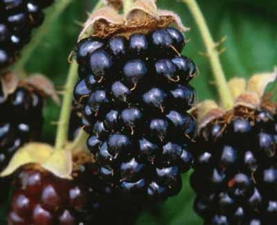 File:Marionberries (2493507934).jpg