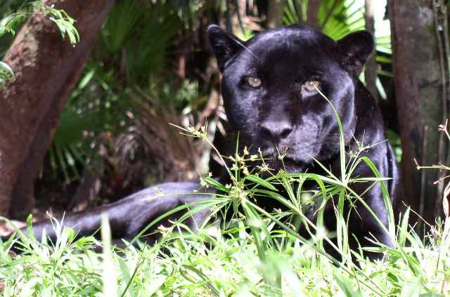 File:Melanistic panthera onca.jpg