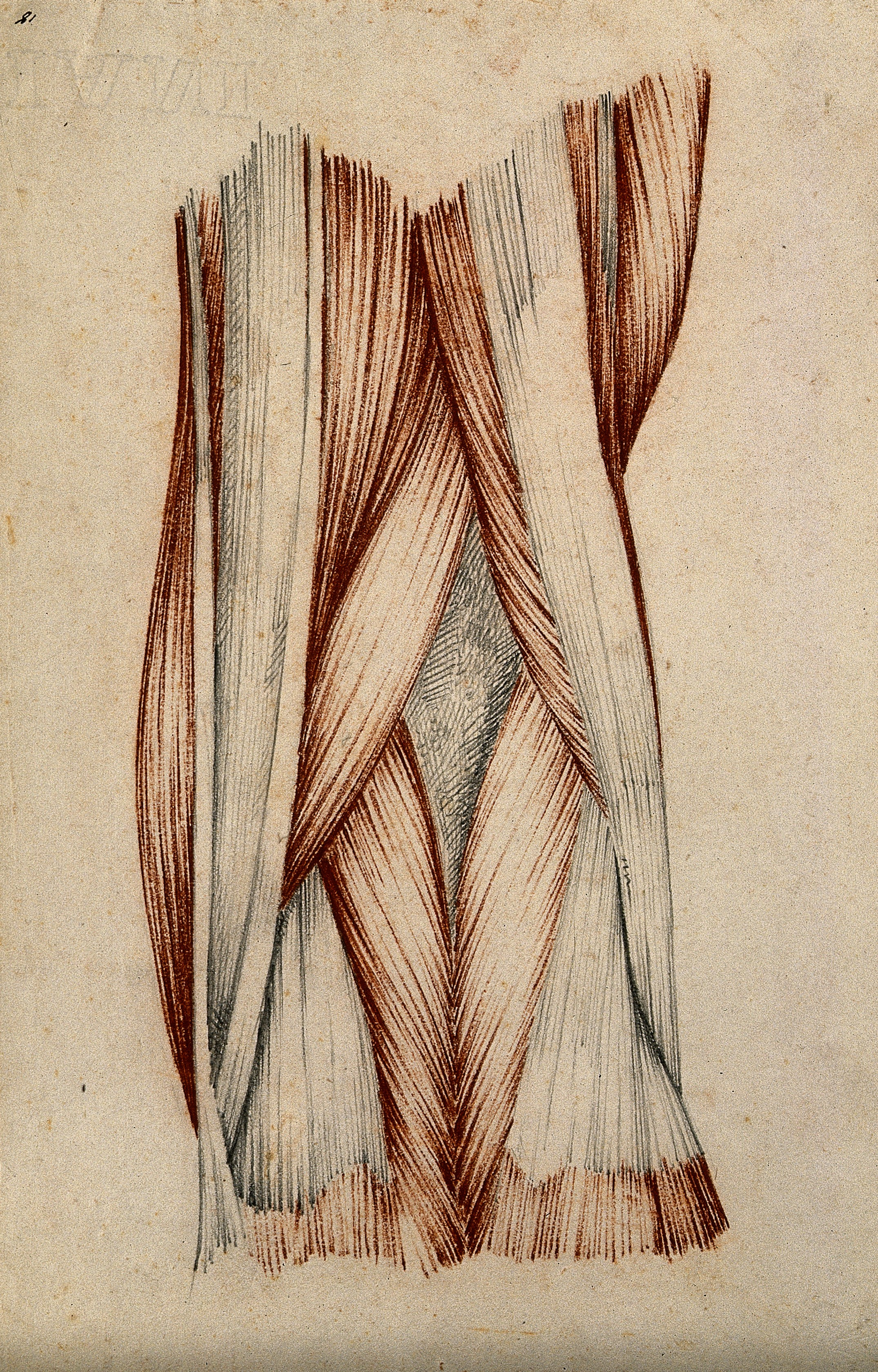 Filemuscles And Tendons Of The Knee Joint Red Chalk And Pencil