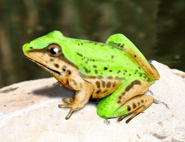 File:Notobatrachus NT.jpg
