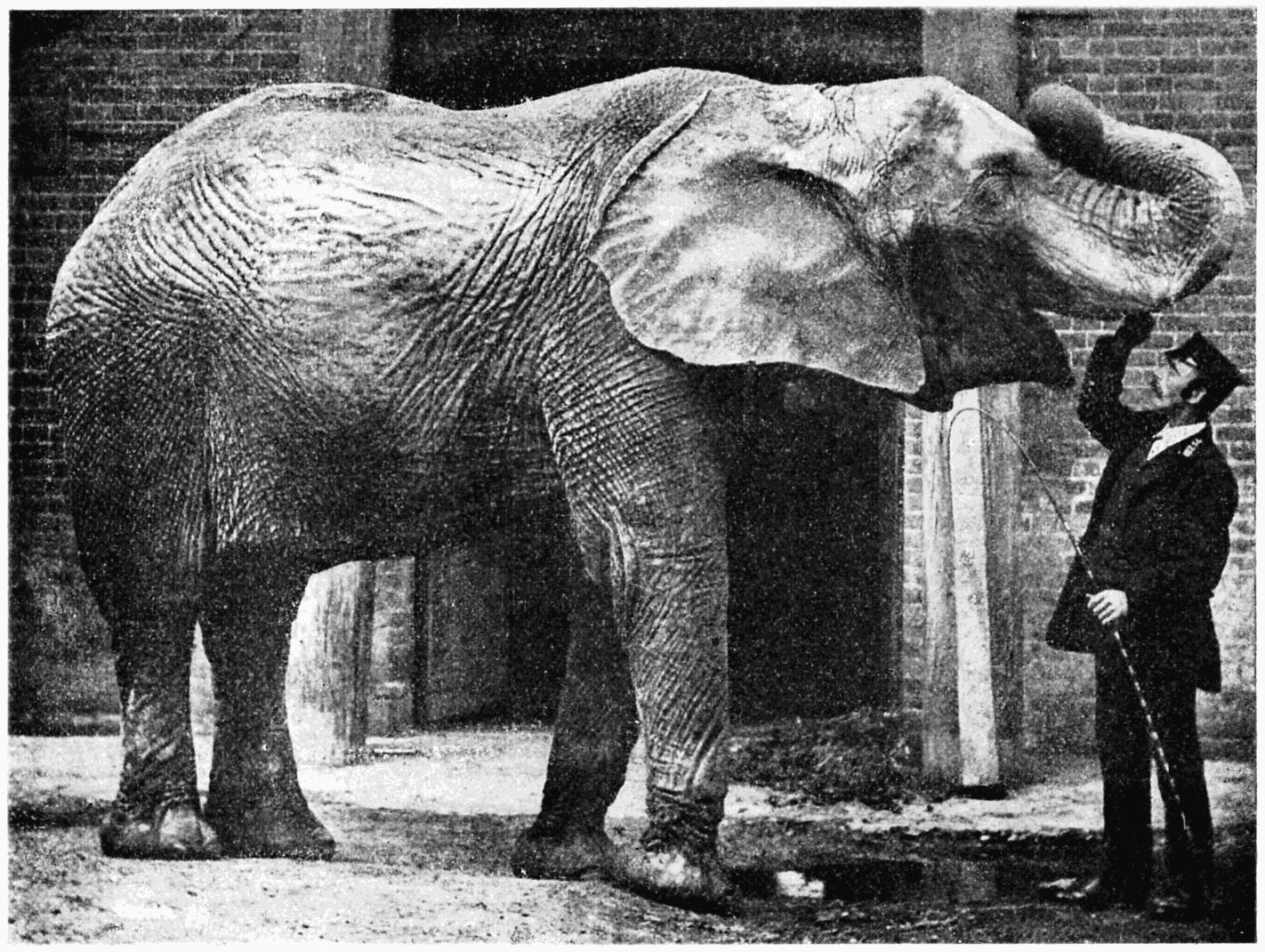 File:P230 - l'éléphant d'afrique au jardin zoologique de ...