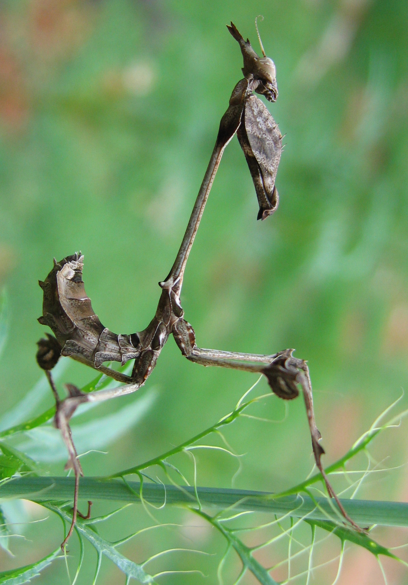 an introduction to the mantodea also known as the praying mantis Praying mantis, insect which holds mantis is the common name of any insect in the order mantodea, also commonly known as praying mantises.
