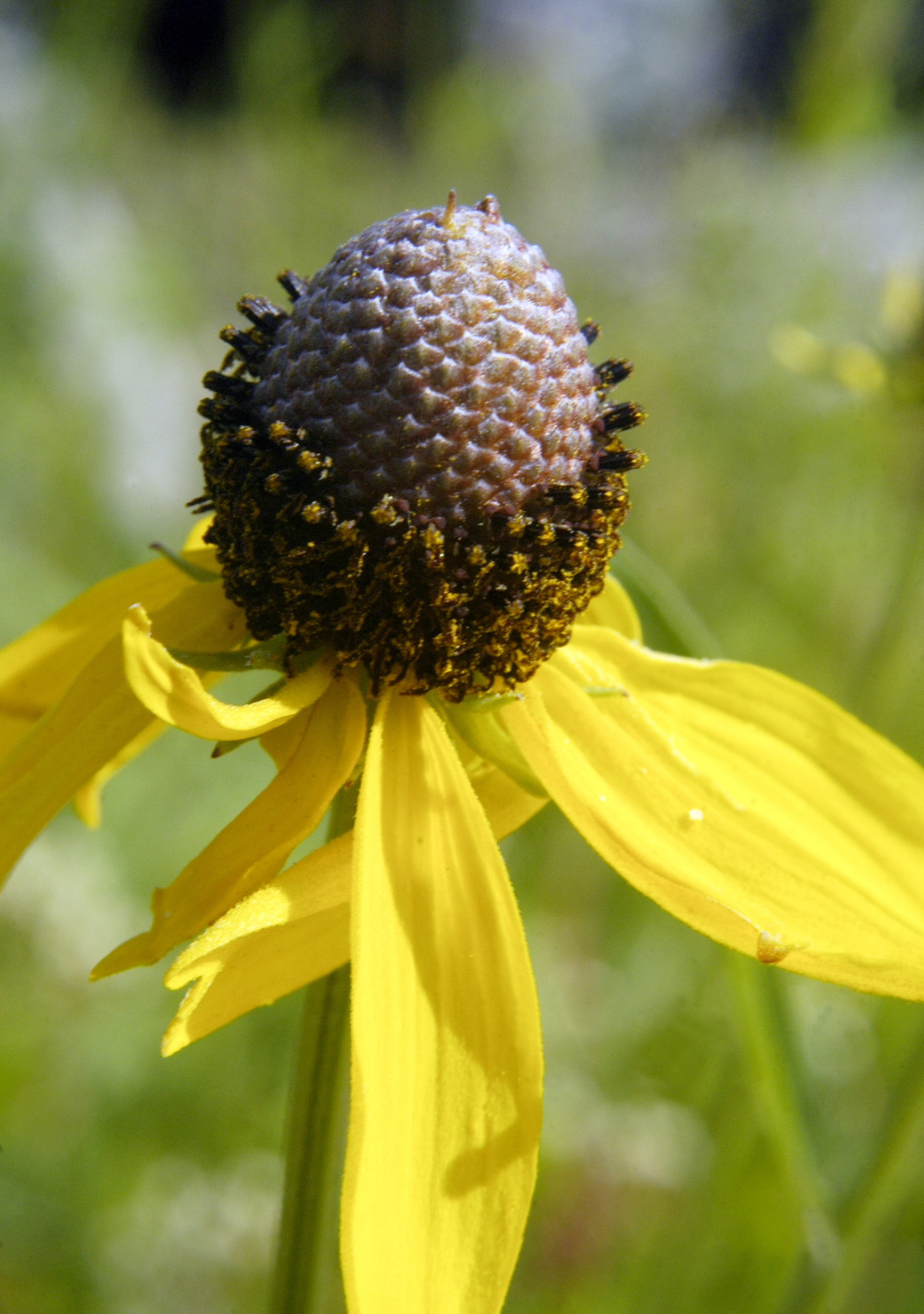 Fileratibida Pinnata Yellow Coneflower 4626916362g Wikimedia