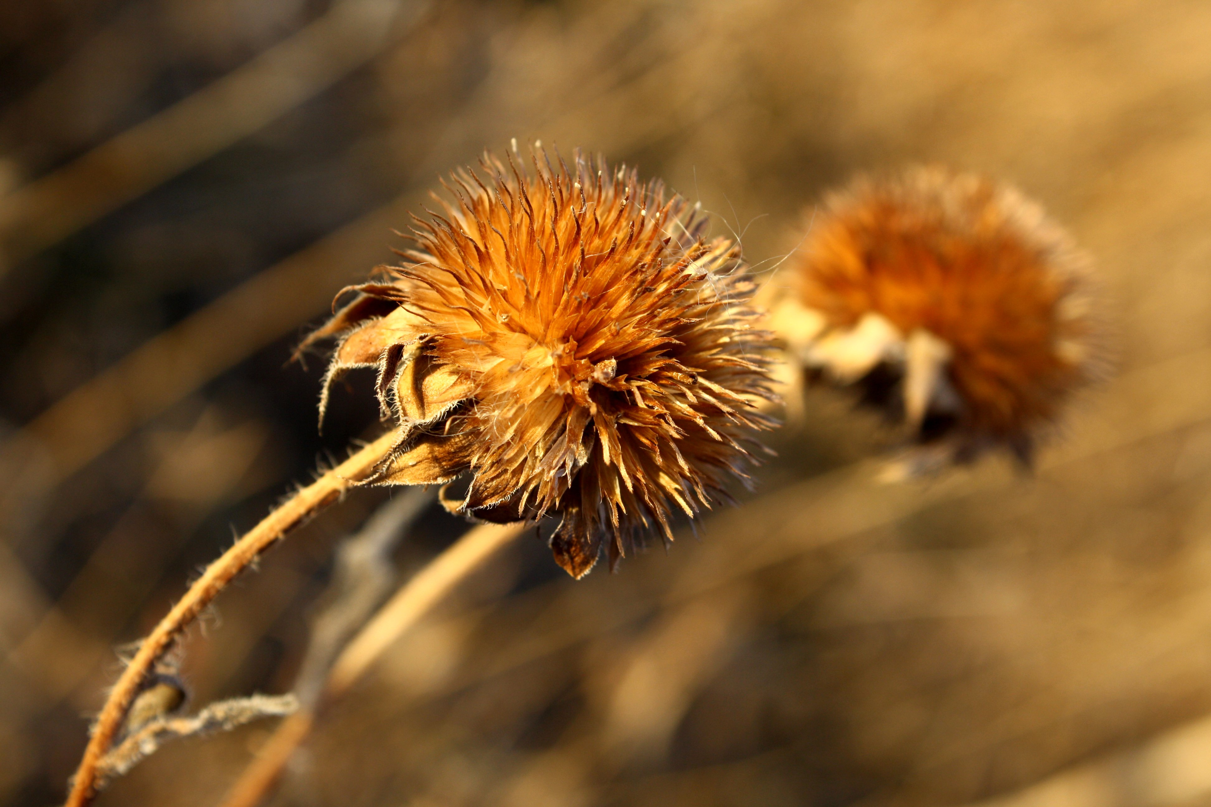 File:Round wild flower seed head.jpg - Wikimedia Commons