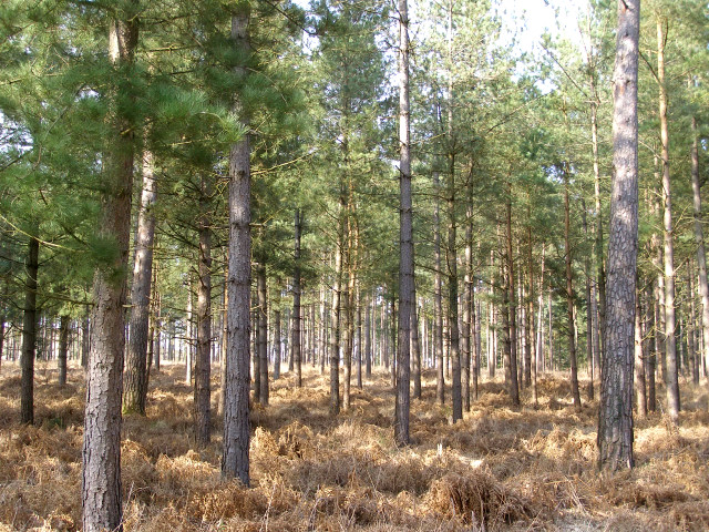 Scots pine trees in the Alderhill Inclosure, New Forest - geograph.org.uk - 156912