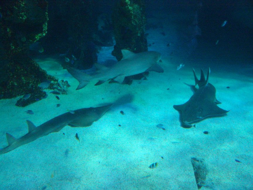File:Sharks at the Sydney aquarium.jpg - Wikipedia, the free ...
