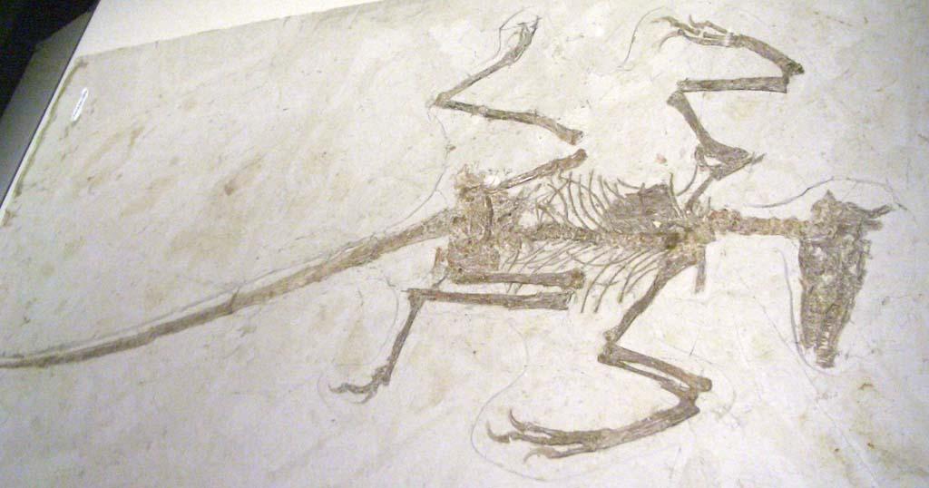 Sinornithosaurus Fossil | www.pixshark.com - Images ...