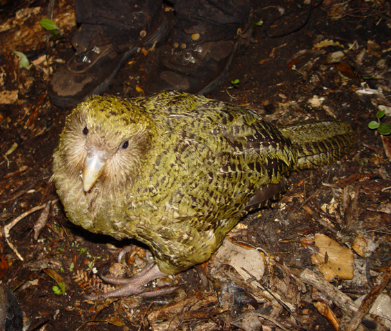 Birds of New Zealand - Wikipedia
