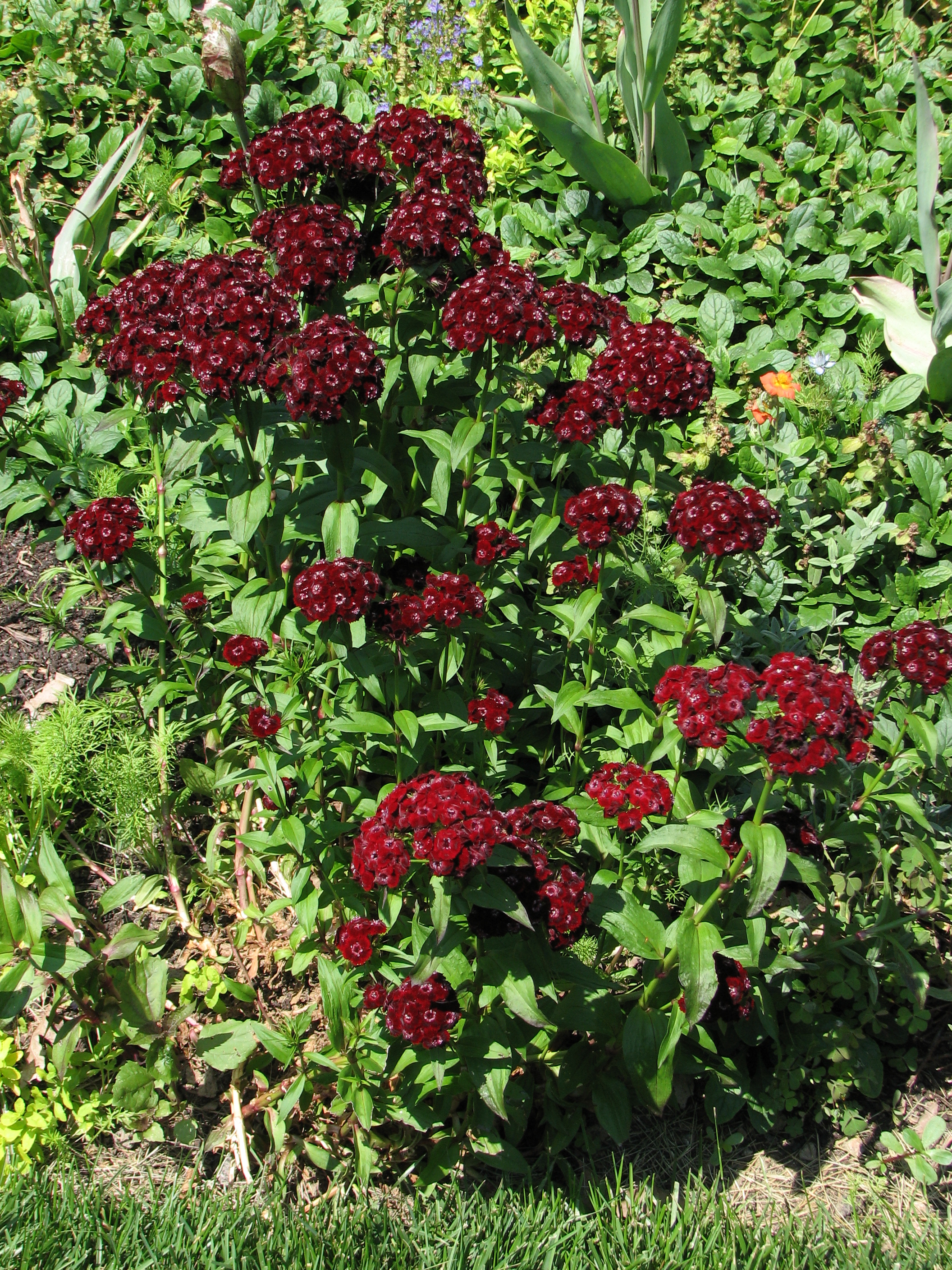 File:Sweet William Dianthus barbatus 'Heart Attack' Plant ...