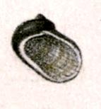 Synaptocochlea picta 001.jpg
