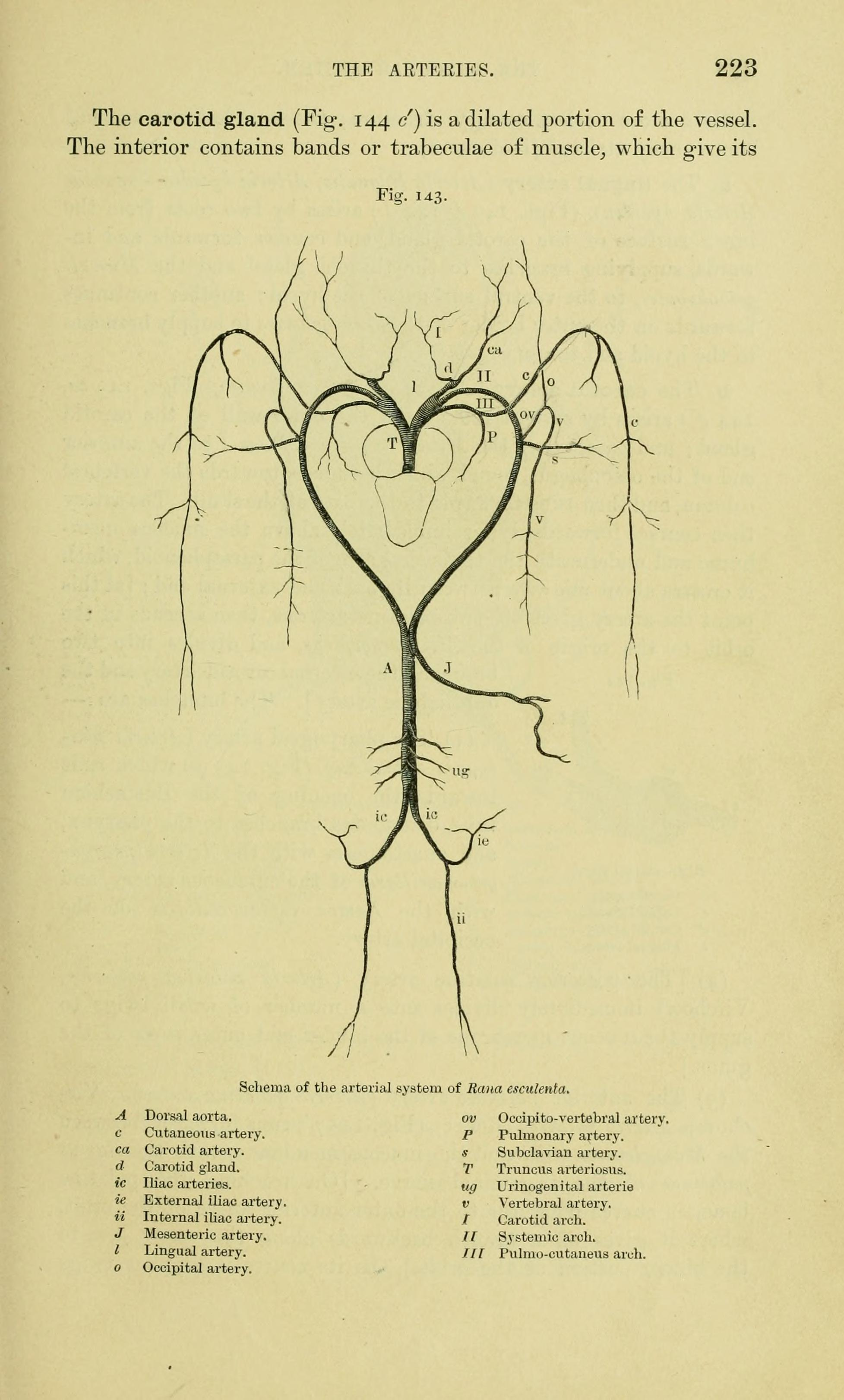File:The anatomy of the frog (Page 223, Fig. 143) BHL7555005.jpg ...