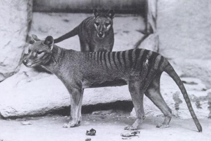 Image result for thylacine