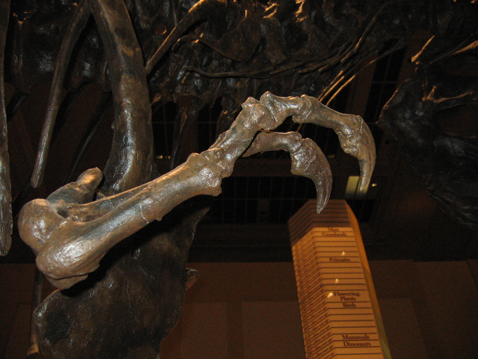 Nahaufnahme der Arme eines T. rex-Skeletts im National Museum of Natural History, Washington, D.C.