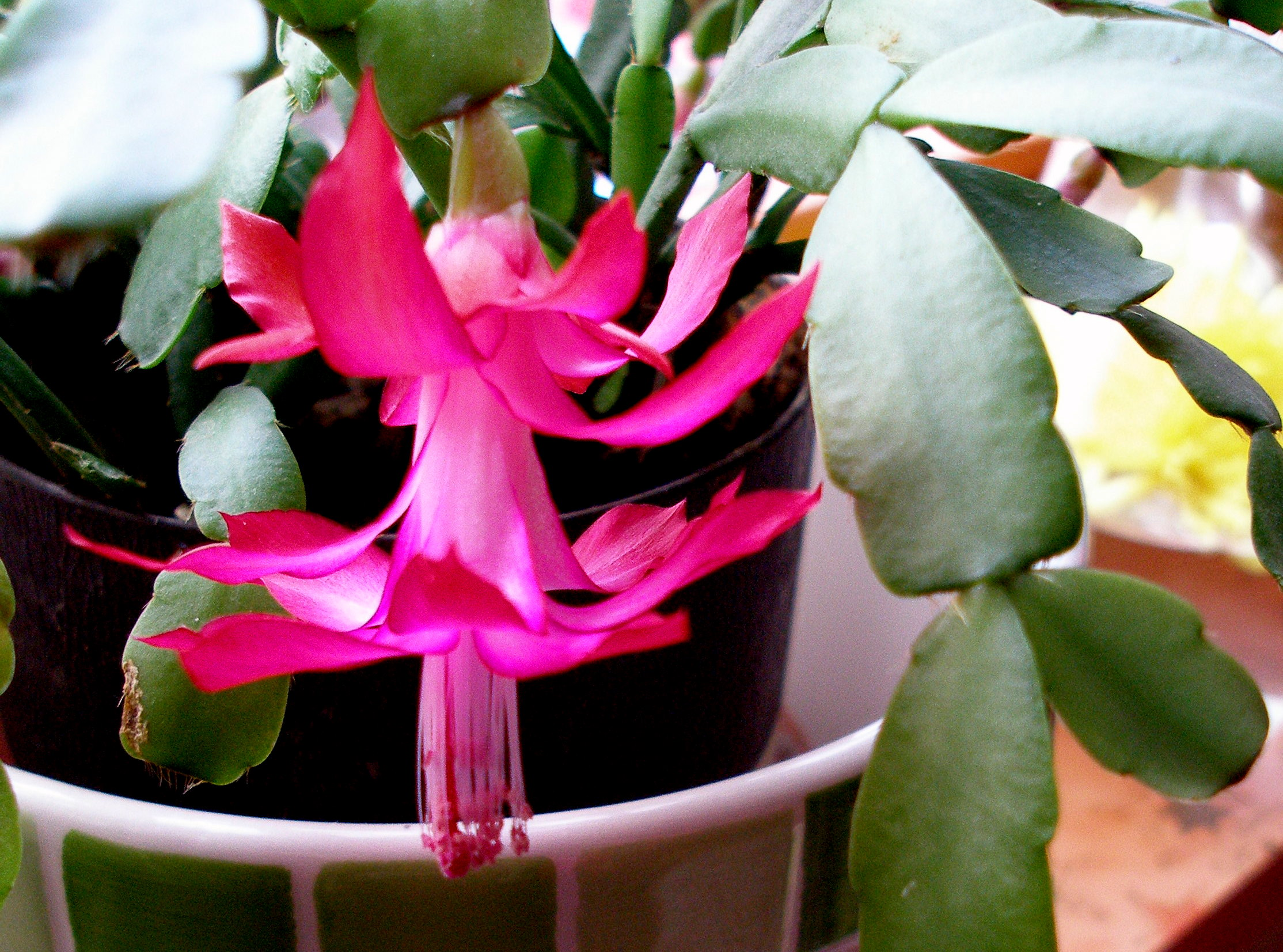 Image result for schlumbergera bridgesii
