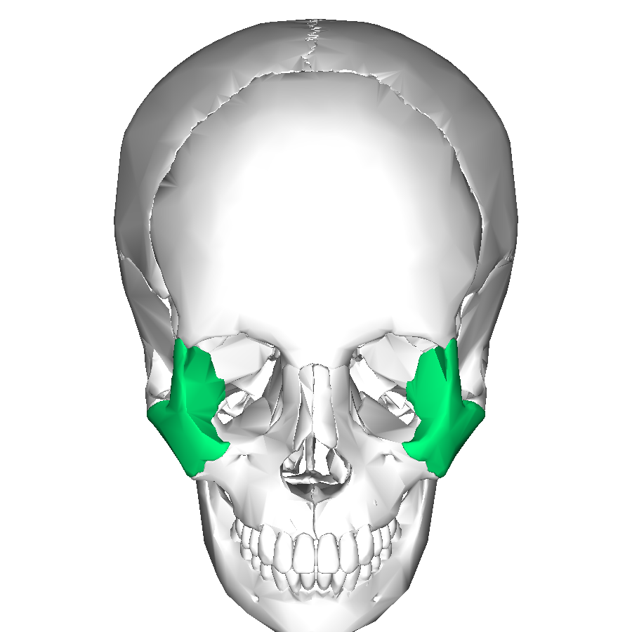 Filezygomatic Bone Anterior2g Wikimedia Commons