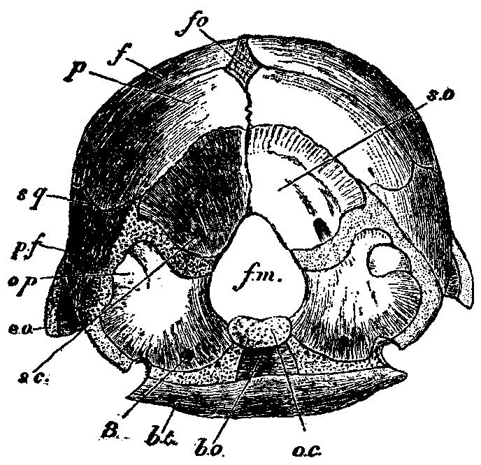 1911 EB Chicken skull.png