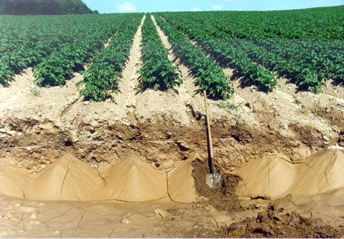 A potato field with soil erosion.jpg