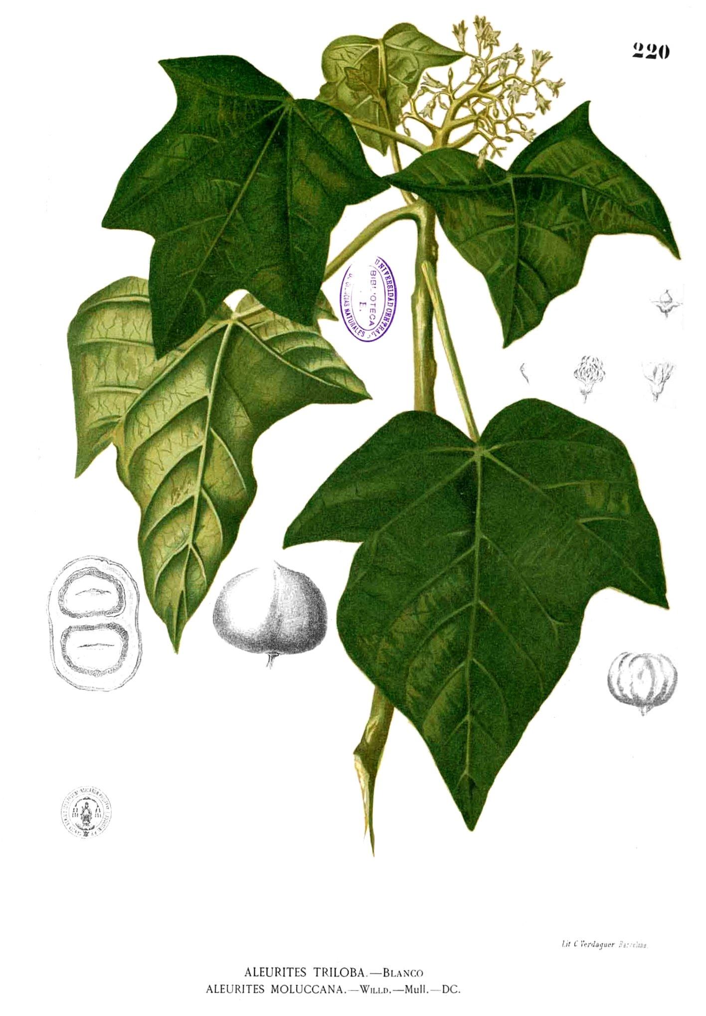 Aleurites Moluccanus L Willd