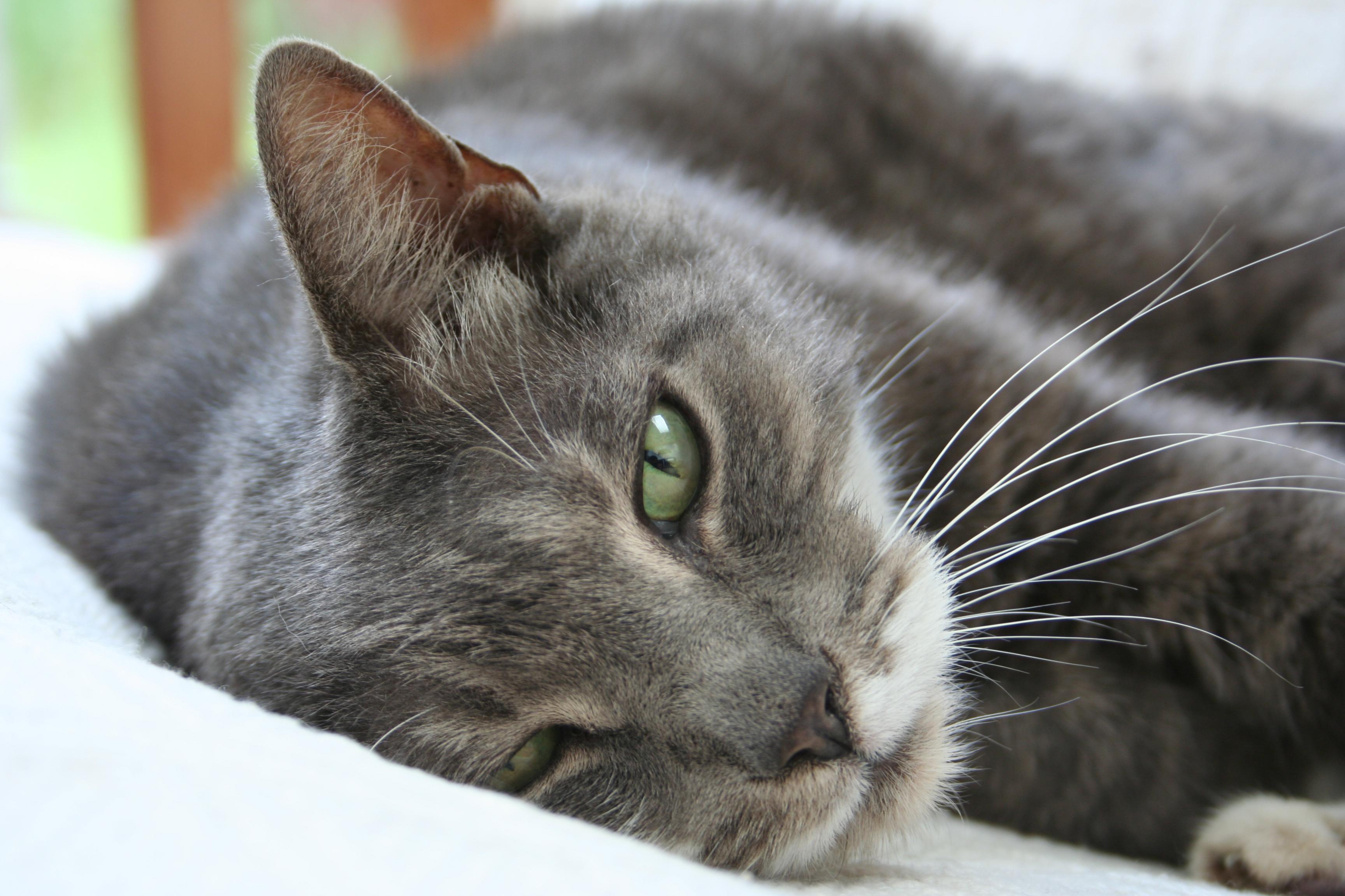 American Shorthair Cat With American Shorthair Calico Breeding