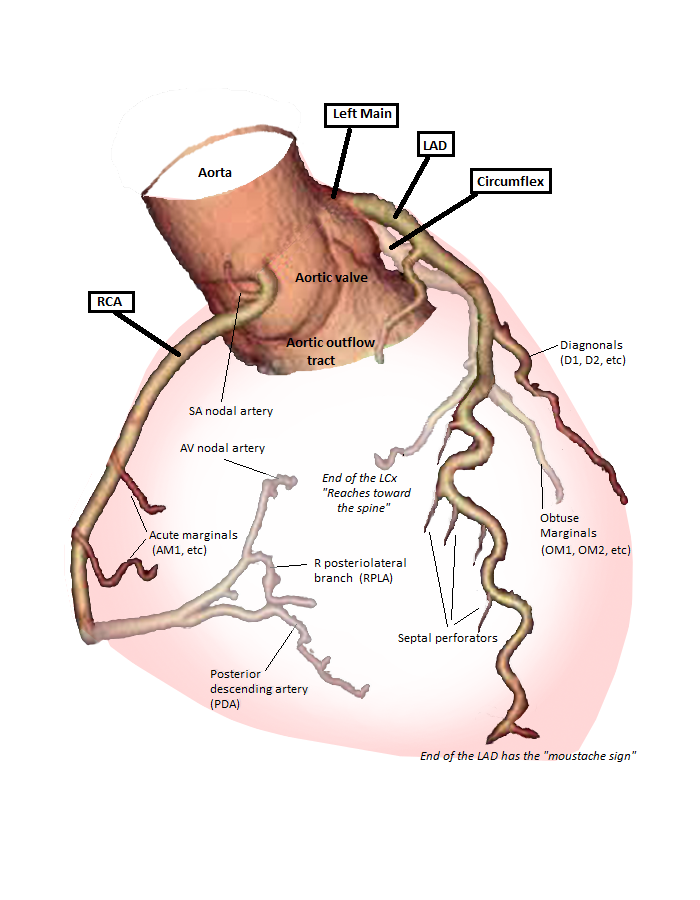 File:Anatomy of coronary arteries.png - Wikimedia Commons