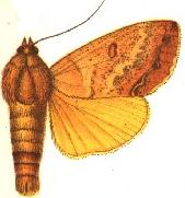 <i>Ophiusa discriminans</i> species of insect