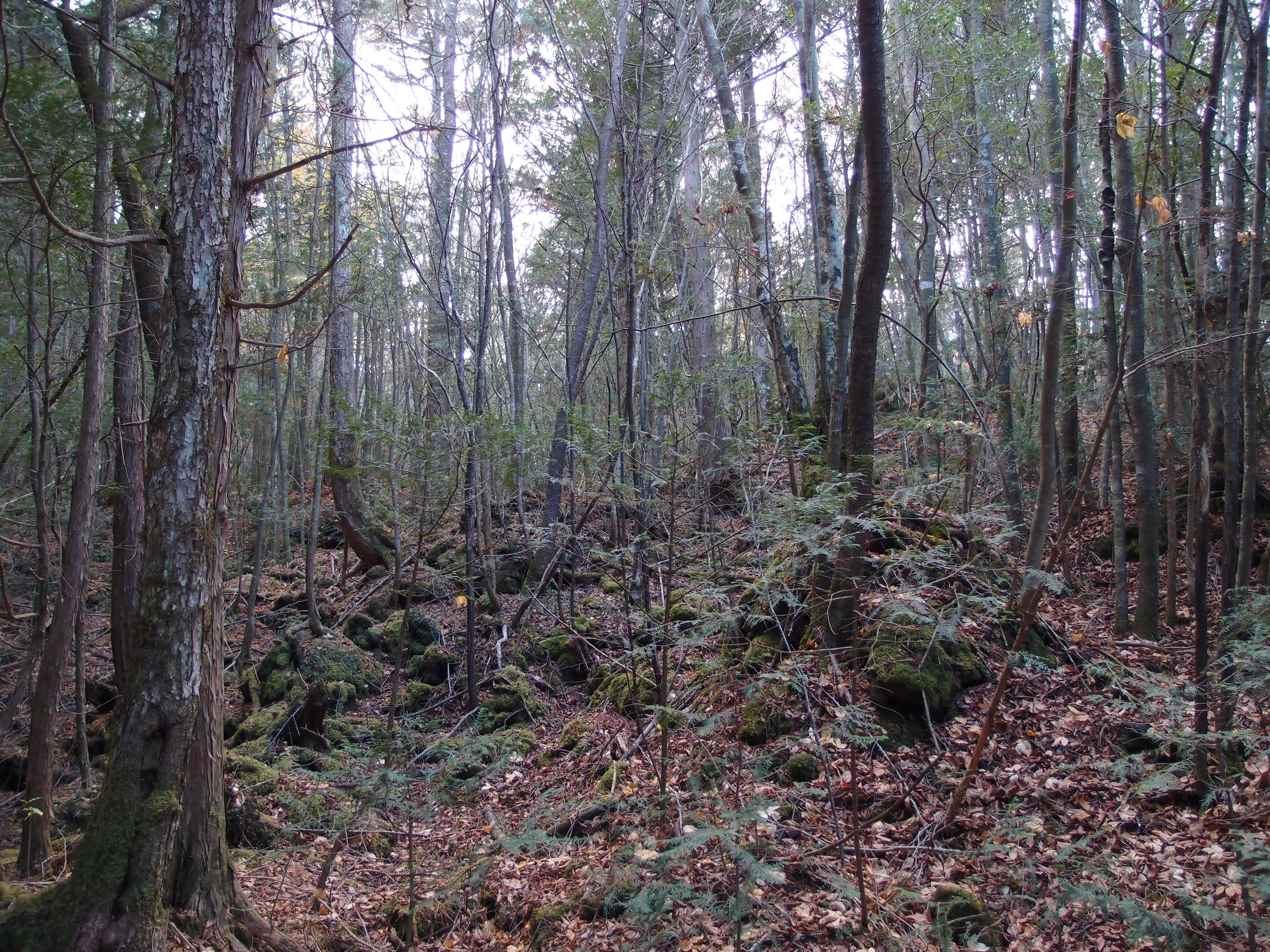 fileaokigahara forest 10863170736jpg wikimedia commons