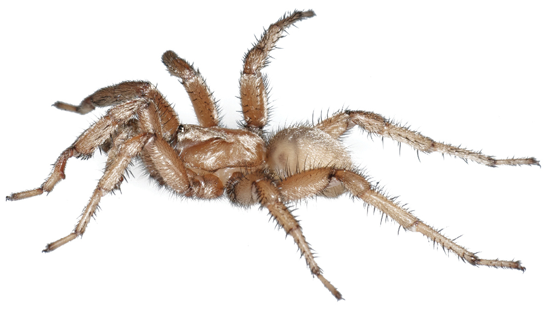 Aptostichus_stephencolberti_male_holotyp