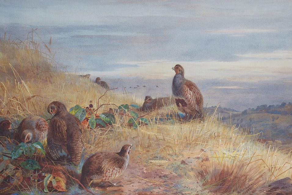 Archibald Thorburn, The Covey at Daybreak,.jpg