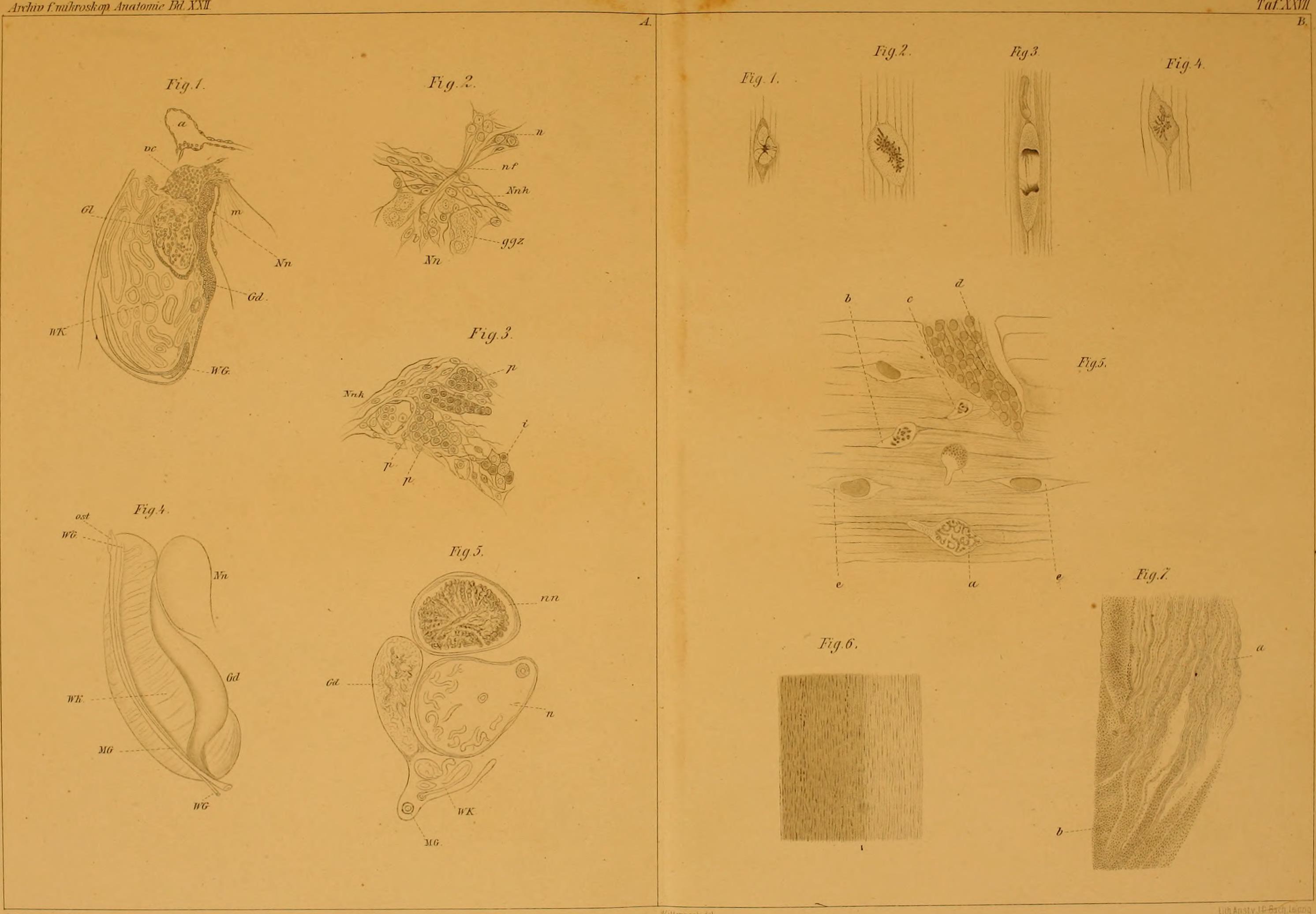 File:Archiv für mikroskopische Anatomie (1883) (19705869344).jpg ...