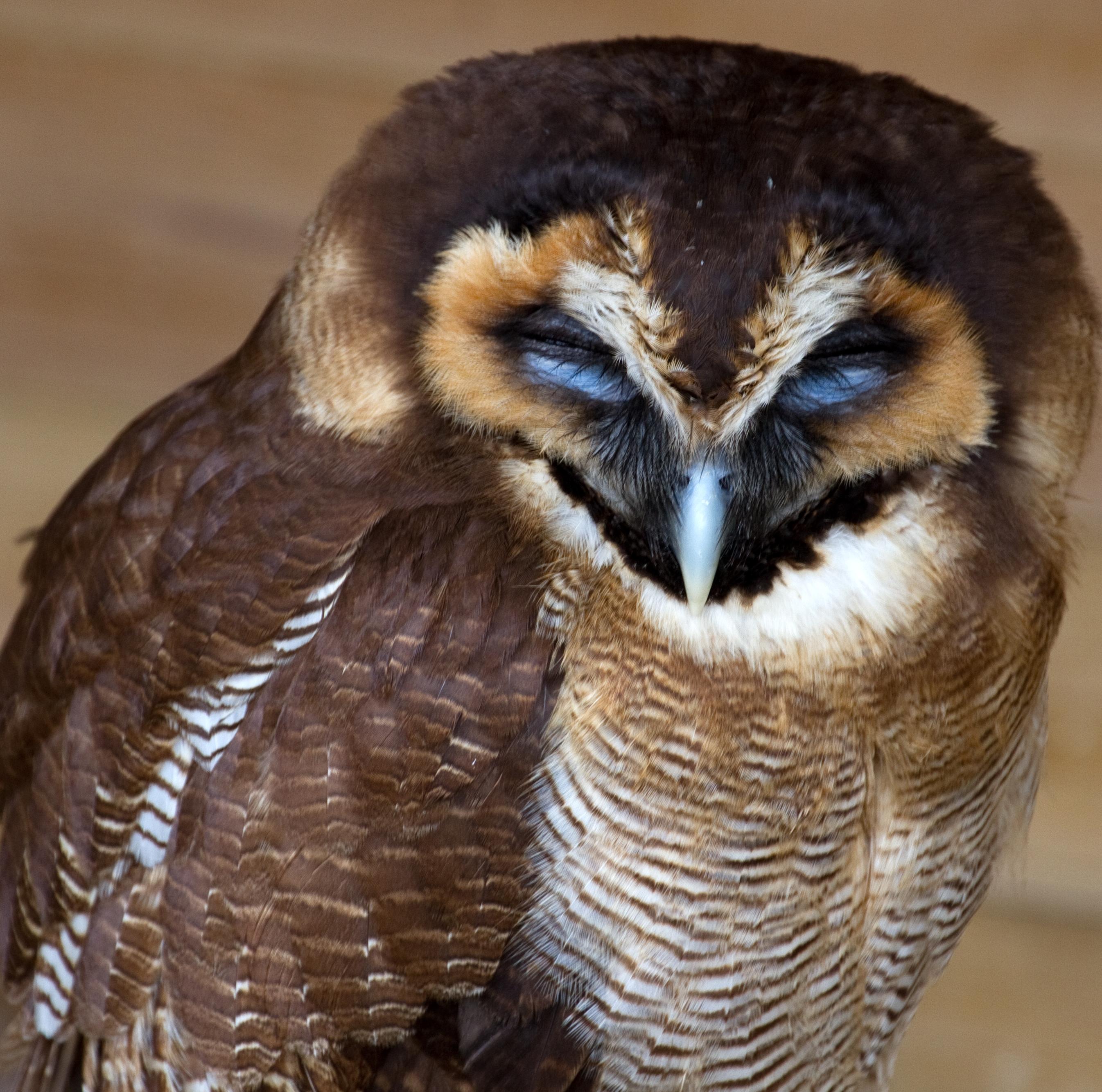 Asian Wood Owl 23