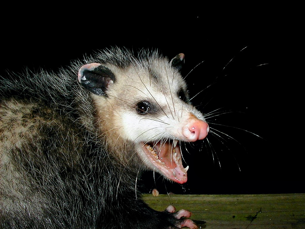 http://upload.wikimedia.org/wikipedia/commons/d/d6/AwesomePossum-AmericanOpossum.jpg