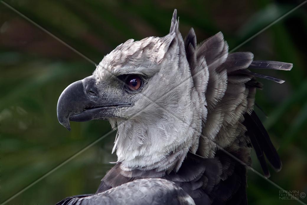 file bird harpy eagle surinam amazone south america 32891899711