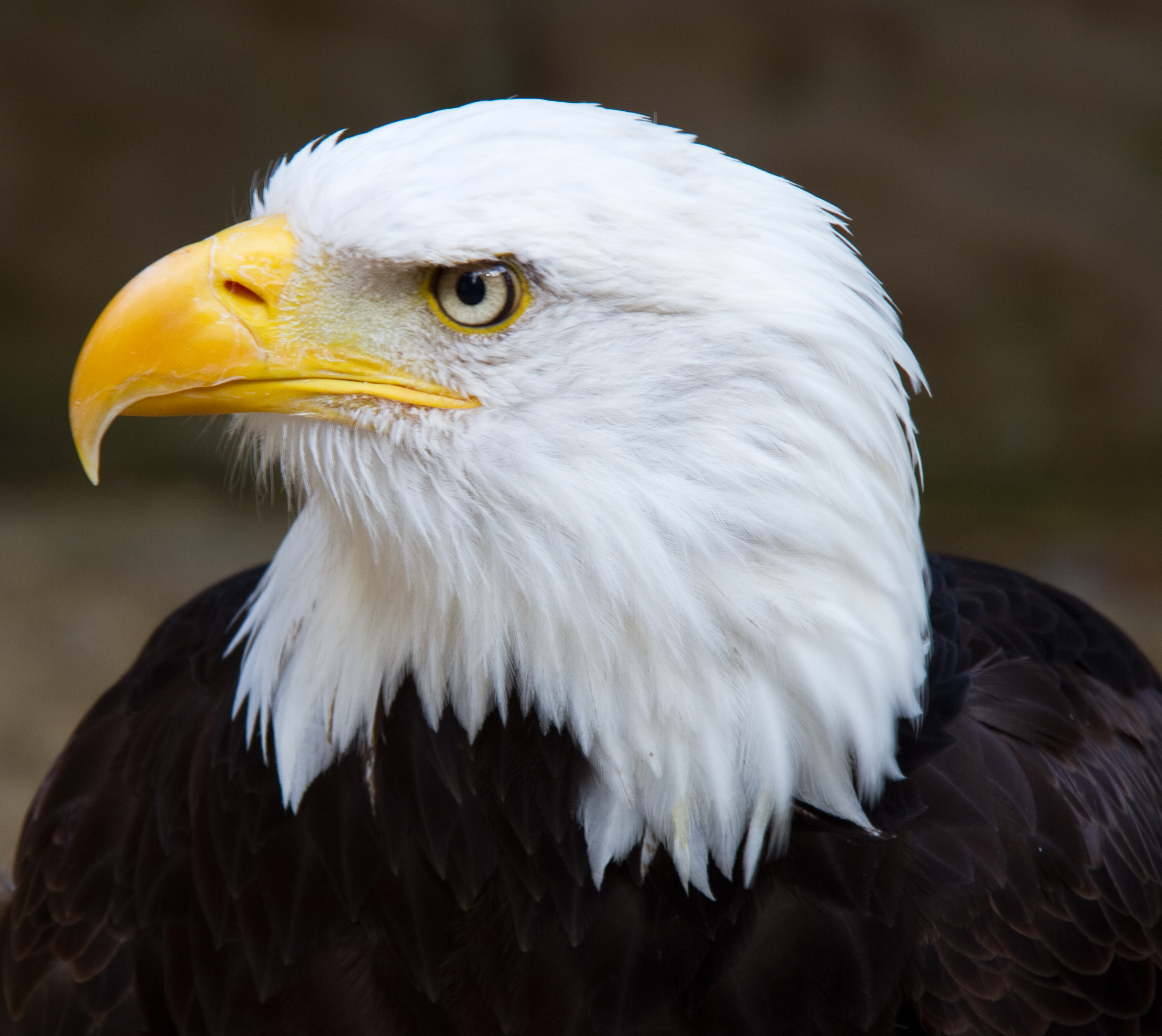 Bald eagle head front - photo#18