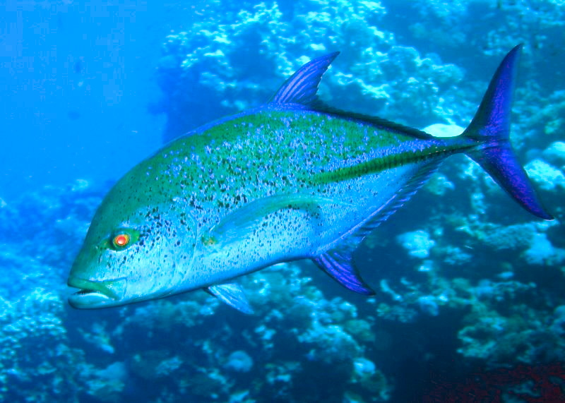 File blue jackfish jpg wikimedia commons for What is a jack fish