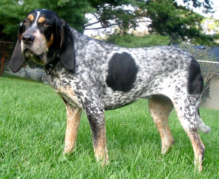 Bluetick coonhound - Dog Scanner