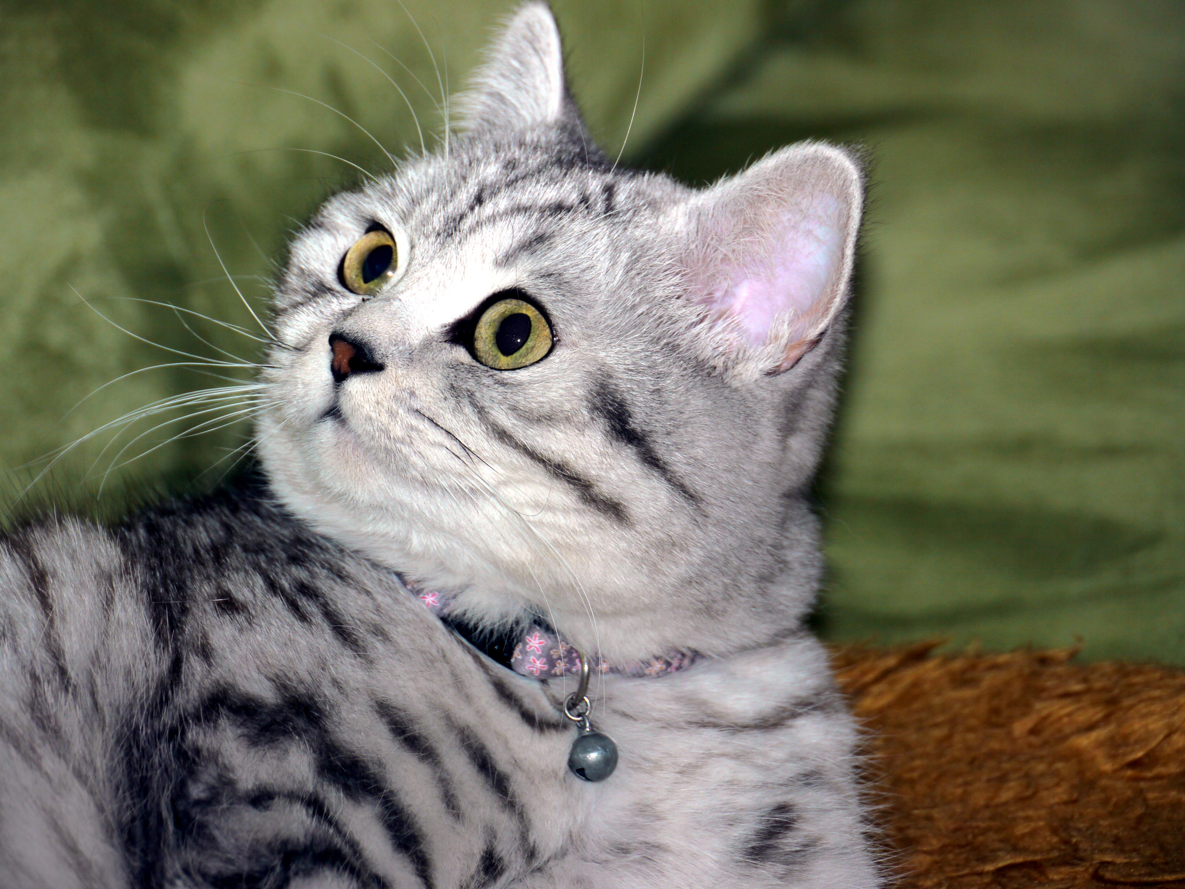 File British Shorthair Black Silver Tabby Mackerel 2 Jpg Wikimedia Commons