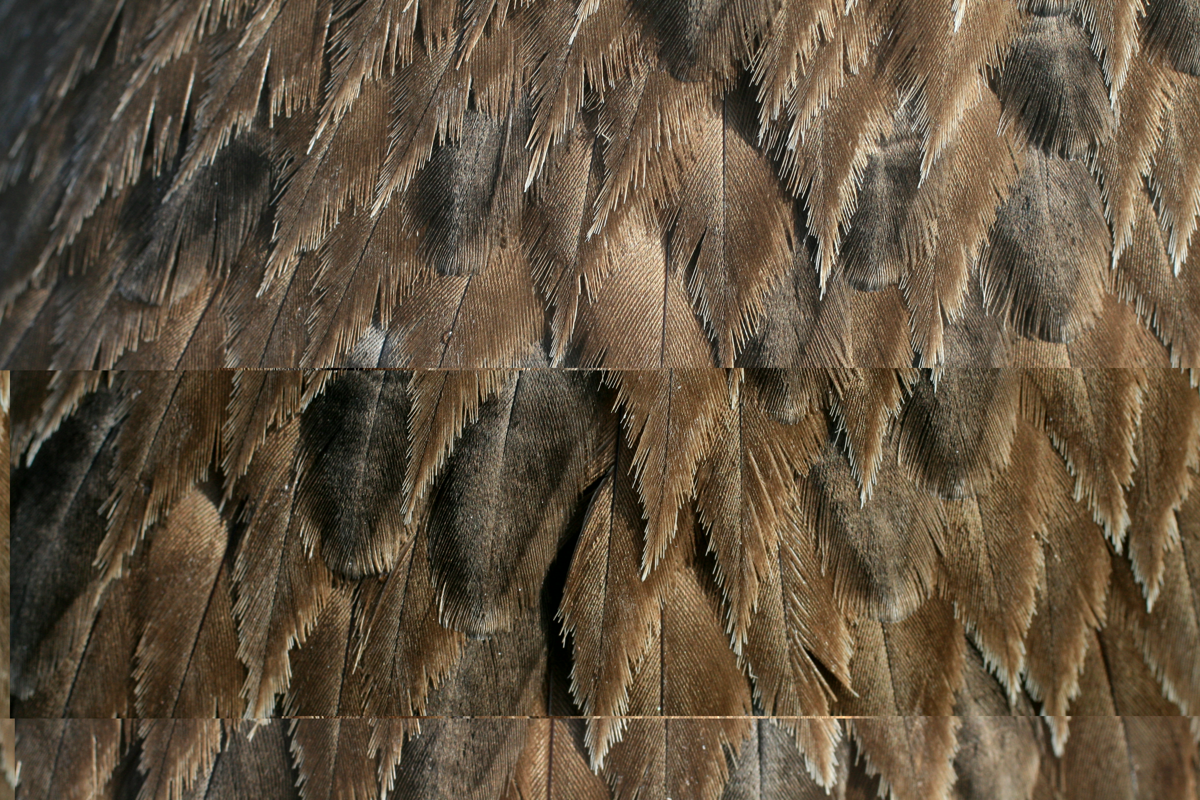 File:Brown pelican feather closeup.jpg - Wikimedia Commons