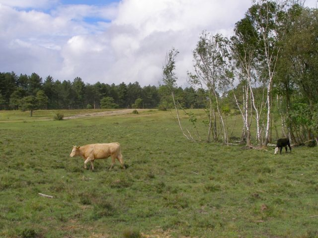 Cattle near Londown Inclosure, Deerleap, New Forest - geograph.org.uk - 427158