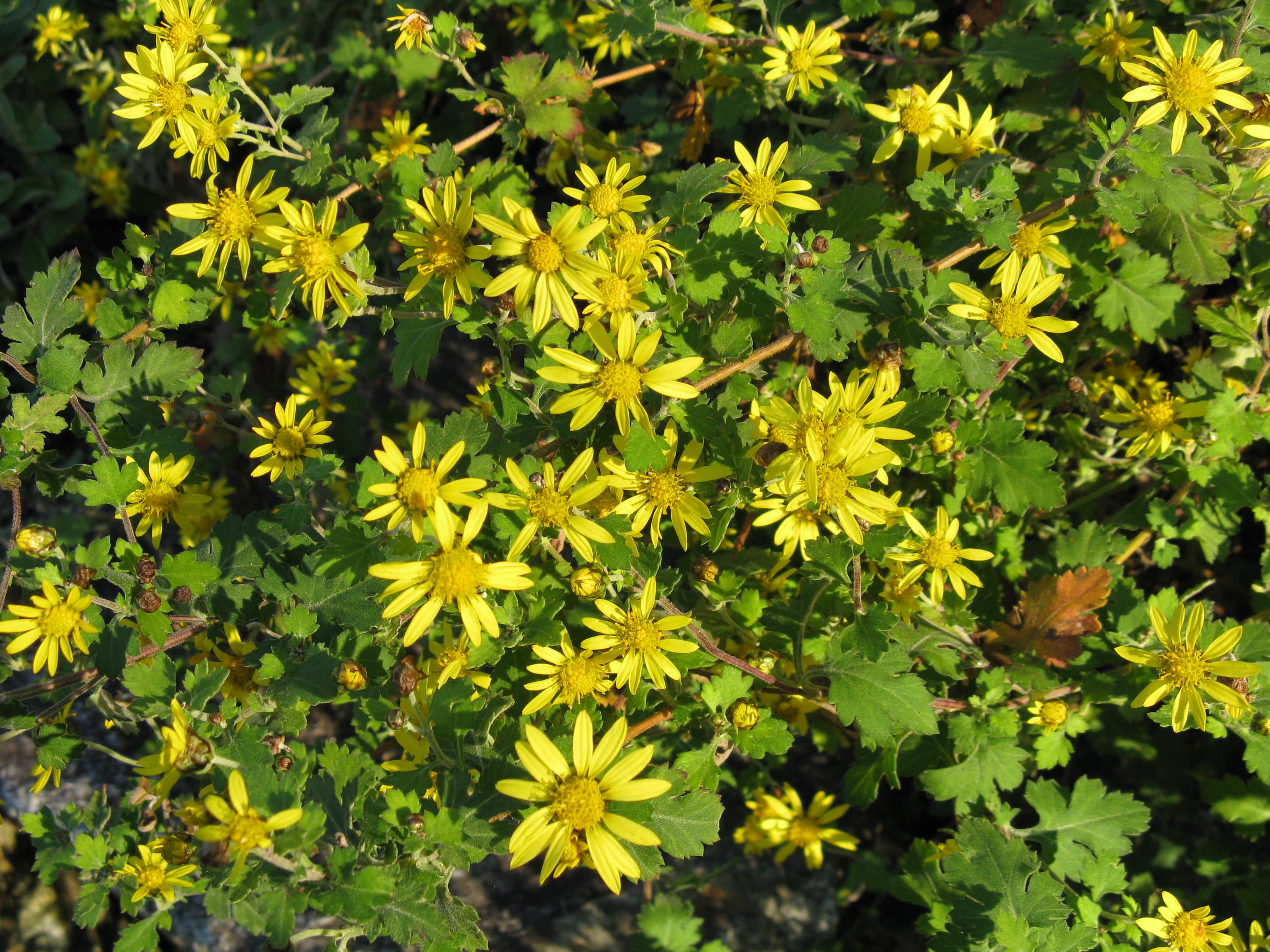 Super Chrysanthemum indicum - Wikipedia &LK_98
