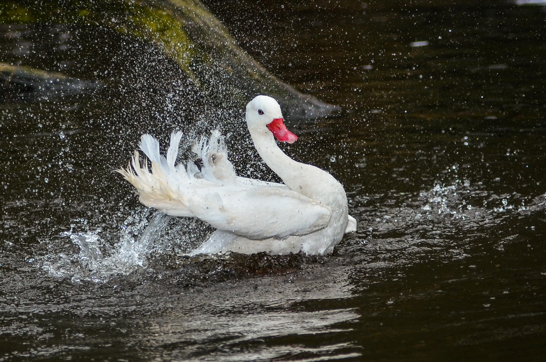 https://upload.wikimedia.org/wikipedia/commons/d/d6/Coscoroba_coscoroba_%28Coscoroba_Swan_-_Koskorobaschwan%29_-_Weltvogelpark_2012-02.jpg